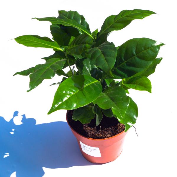 Koffieplant Coffea Arabica bovenaanzicht